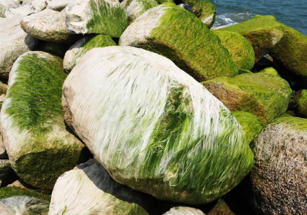 Description: Lớp rêu khô tạo nên những mảng trắng óng ánh như tơ - Ảnh: Dương Thanh Xuân