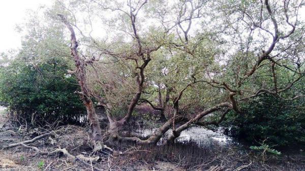 Description: Nhiều cây mắm cổ thụ có hình thù độc đáo - Ảnh: LÊ TRUNG