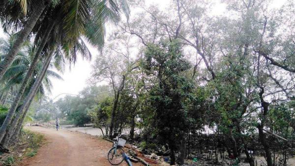 Description: Khu rừng ngập mặn nguyên sinh thôn Đông Xuân là lá chắn bảo vệ nhà cửa, làng xóm - Ảnh: LÊ TRUNG