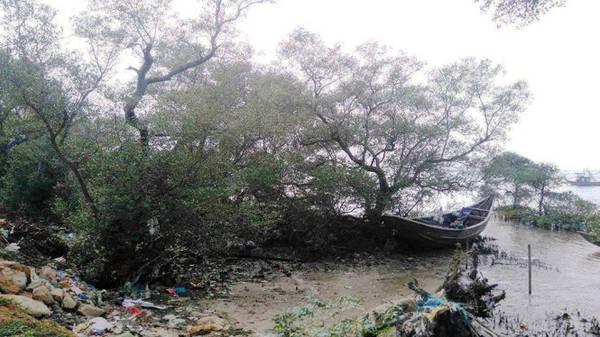 Description: Nhiều cây mắm có đường kính 30-50 cm có tuổi đời hàng trăm năm - Ảnh: LÊ TRUNG