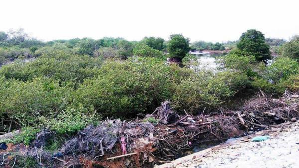 Description: Những dự án trồng rừng được chính quyền địa phương triển khai nhằm ứng phó biến đổi khí hậu, làm phong phú thêm khu rừng ngập mặn Tam Giang - Ảnh: LÊ TRUNG