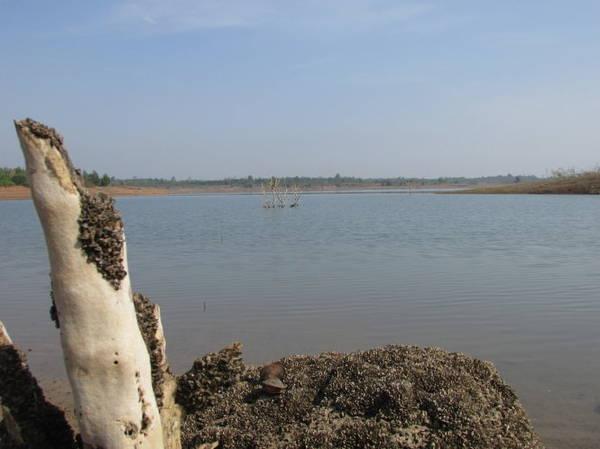 Description: Hến hồ Sông Ray bám dày đặc trên tảng đá, gốc cây - Ảnh: Nguyễn Thiên Đăng