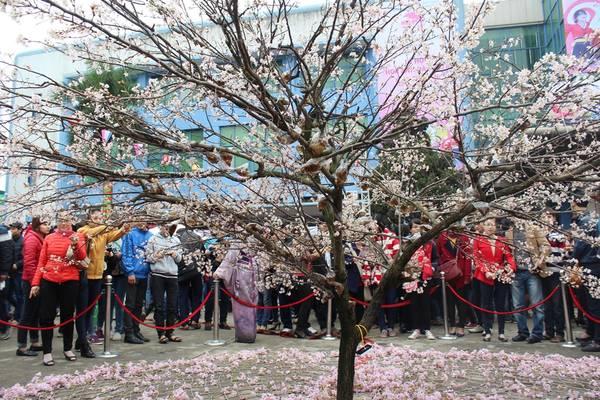 Nhiều người Việt được tận mắt nhìn thấy sắc hoa anh đào ngoài đời. Ảnh: baotainguyenmoitruong