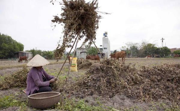 Người phụ nữ tuốt đậu phộng trên ruộng - Ảnh: Trân Duy