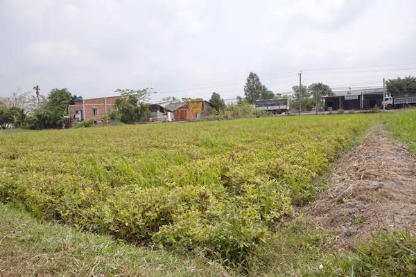 Cánh đồng đậu phộng bên đường - Ảnh: Trân Duy
