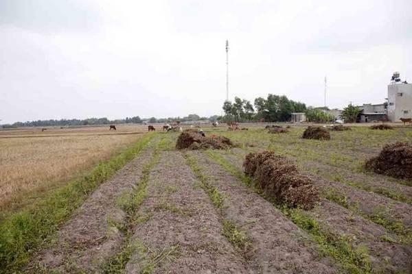 Cánh đồng đậu phộng đang được thu hoạch - Ảnh: Trân Duy