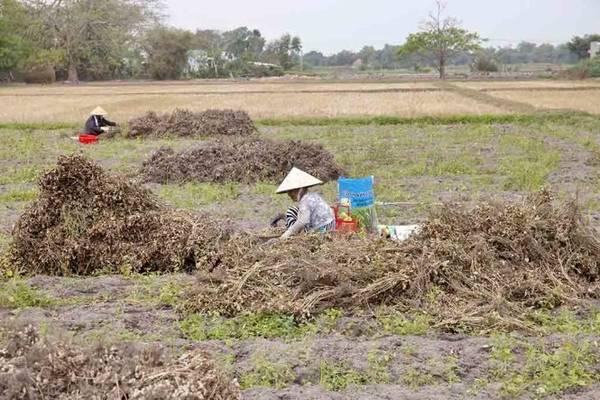 Những phụ nữ ngồi lặt đậu trên ruộng - Ảnh: Trân Duy