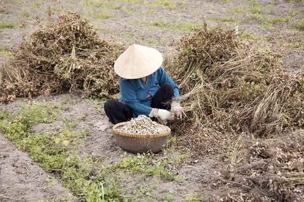Đậu phộng vừa thu hoạch trên ruộng - Ảnh: Trân Duy