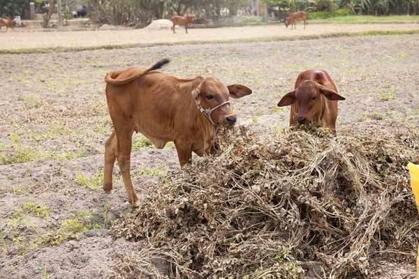 Thân đậu sau khi lấy hết trái sẽ được dành cho trâu, bò - Ảnh: Trân Duy