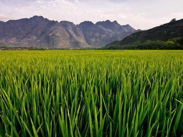 Cánh đồng lúa xanh mướt tầm mắt. Ảnh: Neil Simmons/flickr.com