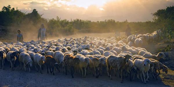 Description: Đàn cừu ở Ninh Thuận. Ảnh: Ninhthuan.vietccr.vn
