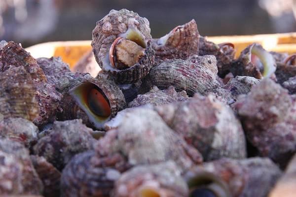 Ra đảo Lý Sơn bạn hãy thử thưởng thức món ốc cừ hấp gừng nhé. Ảnh: lyson.org