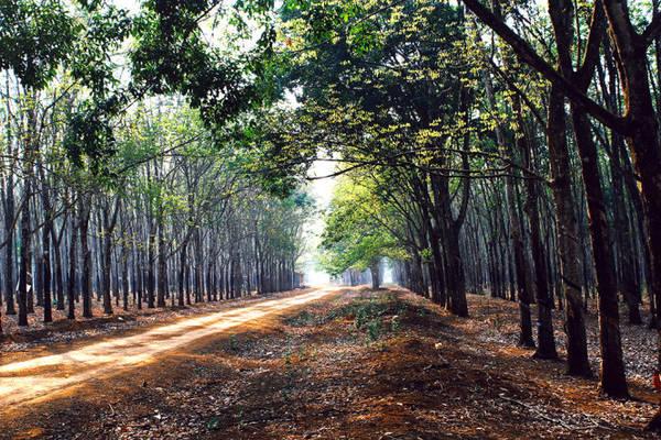 Khoảnh khắc giao mùa của rừng cao su - Ảnh: Bùi Minh Đức