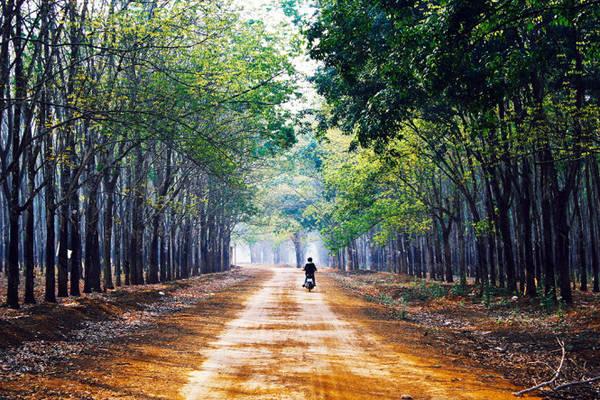 Đâu đó bóng dáng một chiếc xe vụt qua, đánh thức không gian tĩnh mịch của rừng cao su - Ảnh: Bùi Minh Đức