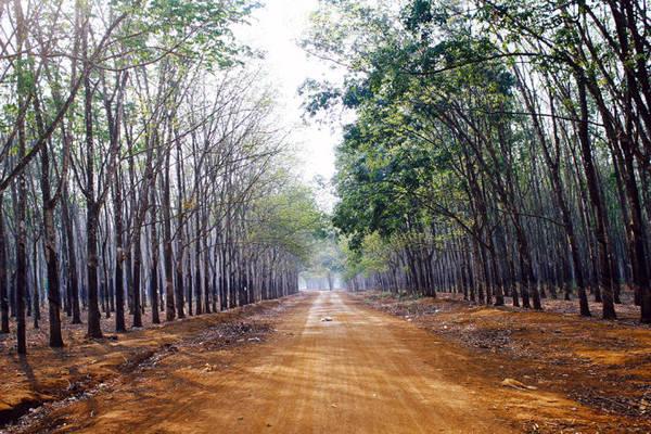 Con đường chia đôi rừng cao su - Ảnh: Bùi Minh Đức