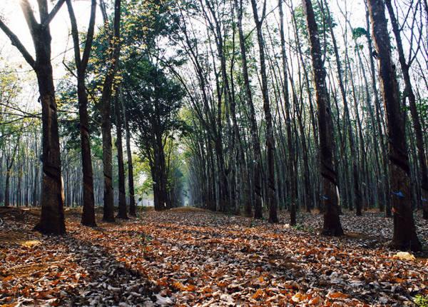 Màu xanh rêu của thân cây hòa cùng màu vàng của lá khô - Ảnh: Bùi Minh Đức