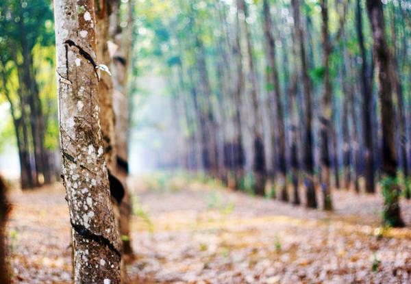 Những thân cây cao su lành lặn, không còn vết cứa mủ trong tiết trời xuân - Ảnh: Bùi Minh Đức