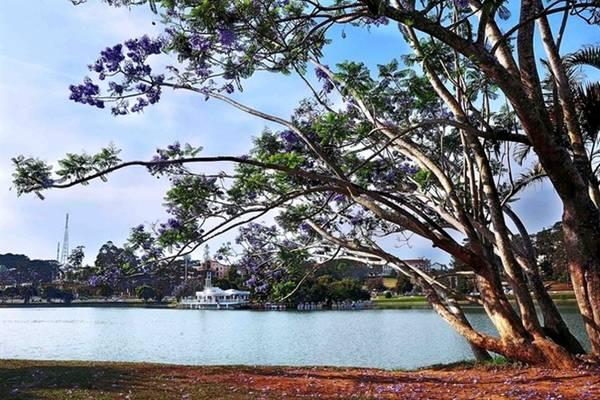 Phượng tím có nguồn gốc từ Nam Mỹ, du nhập vào Đà Lạt năm 1962. Kỹ sư Lương Văn Sáu (tốt nghiệp trường Canh nông Versailles - Pháp) là người đầu tiên ở Đà Lạt mang hạt về ươm, rồi trồng nhiều cây con 2 bên đường vào chợ, nhưng chỉ sống được một cây (trước khách sạn Golf 3 bây giờ). Cây phượng tím này hàng năm có ra hoa, nhưng không đậu quả.