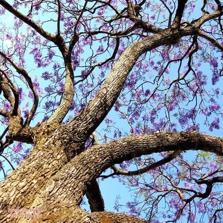 """""""Con đường phượng tím chiều nay đổ/Bóng lá che nghiêng một góc đời"""" - Nhà thơ Miên Thụy, đã gieo vào lòng người sự hoài niệm thật dễ thương."""