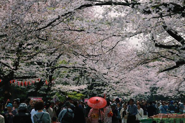 Những ngày này, trên khắp đất nước Nhật Bản, dòng người bao gồm khách du lịch và người dân bản địa ngày một đông đúc, kéo nhau về những khu vực tập trung nhiều hàng cây hoa anh đào để tham quan chụp ảnh.