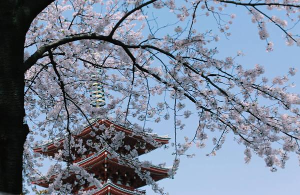 """Thiện Chí chia sẻ: """"Qua Nhật Bản vào thời gian này tôi như lạc vào một thế giới của những trang truyện tranh, những cảnh tượng mà không có thật ở hiện tại. Có những lúc tôi thẫn thờ say đắm trước cảnh vật nơi này. Cứ mỗi cơn gió bay qua là cuốn theo vô vàng những cánh hoa bay nhẹ nhàng như những bông tuyết đầu mùa. Cảnh tượng ấy làm tôi rất ấn tượng và không thể nào quên được""""."""
