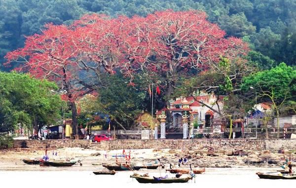 Đồ Sơn có gần chục cây gạo cổ thụ từ 100 năm đến hơn 200 năm, tập trung chủ yếu tại khu vực bến Thốc, phường Vạn Hương, gắn liền với ngôi đền cổ Vạn Chài.