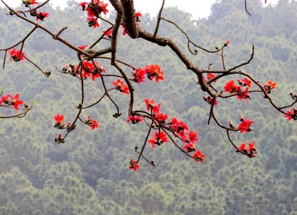 Để bảo vệ những cây gạo cổ thụ, chính quyền quận Đồ Sơn đang tính đến phương án đưa vào danh sách cây di sản Việt Nam cùng với rừng đa búp đỏ tại Đảo Dấu và rặng thị cổ núi Ngọc đã được công nhận trước đó.