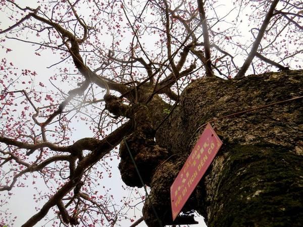 """Trong số gần chục """"cụ gạo"""" thì trong khuôn viên Đền có tới 5 cây. Đường kính đo được tại phần gốc mỗi cây từ 2 tới 2,5 mét."""