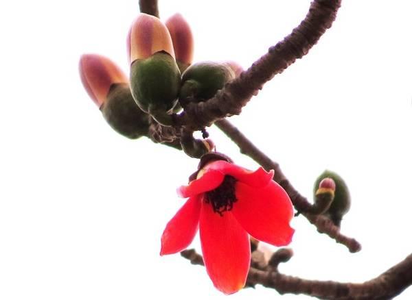 Chỉ sau 3 ngày là hoa trút khỏi cành, để lộ ra phần quả non đang lớn dần từ chính phần cuống hoa.