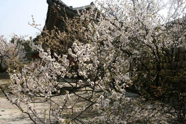 Hoa đào bung nở trong hoàng cung Seoul - Ảnh: Trân Duy