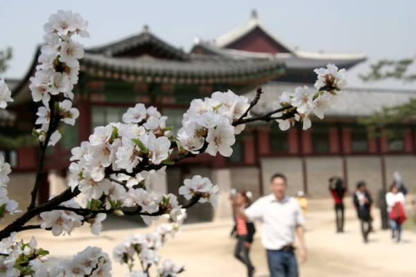 Hoa đào trong khu vực hoàng cung Seoul - Ảnh: Trân Duy