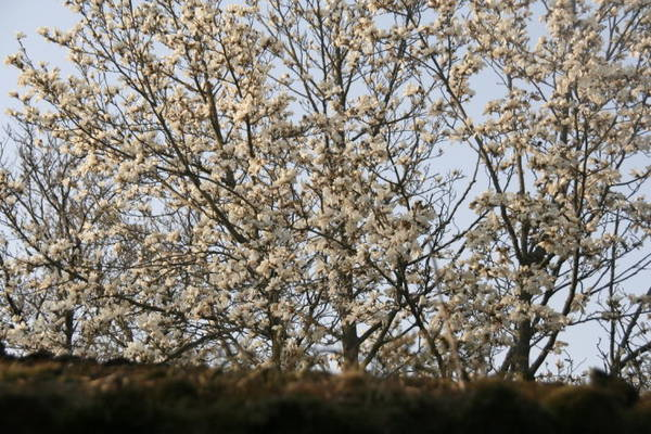 Hoa đào trong nắng xuân Hàn Quốc - Ảnh Trân Duy