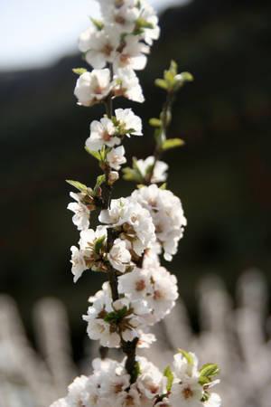Một loại hoa đào Hàn Quốc - Ảnh: Trân Duy