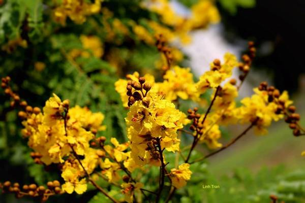 Hoa điệp vàng thường nở từ tháng 5 đến tháng 8 Dương lịch, tuy nhiên năm nay hoa nở sớm hơn.