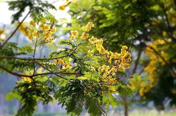 Loài hoa có màu của nắng ngọt ngào rải theo từng bước chân.