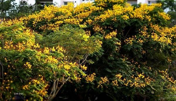 Hoa điệp vàng chỉ nở rộ duy nhất một lần trong năm, vào thời điểm giao mùa, giữa mùa khô và mùa mưa, cũng là thời kỳ được coi là khó chịu nhất và khắc nghiệt nhất trong năm.
