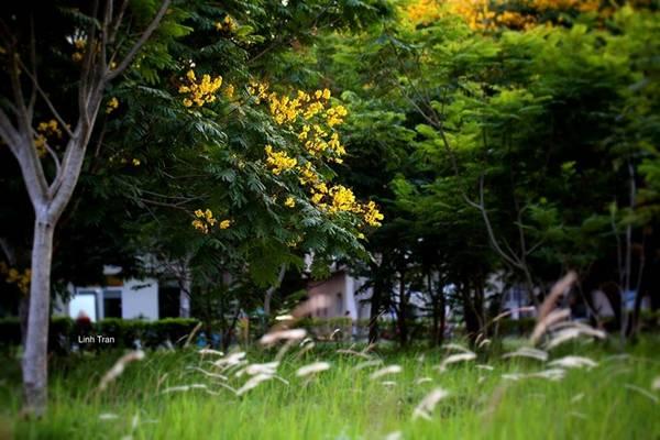 Hoa điệp vàng có đặc điểm là rất dễ rụng. Loài hoa nhạy cảm với ngay cả những con gió thoảng qua...