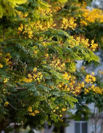 Những búp hoa nhẹ nhàng thả mình rơi xuống, như những dòng nước có nhiều những giọt tròn lấp lánh.