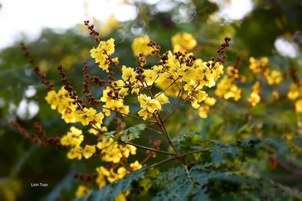 Những cánh hoa điệp vàng khoe sắc làm Sài Gòn trở nên sinh động hơn, dịu dàng hơn.