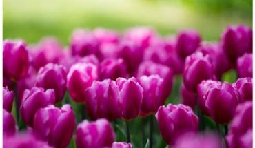mua-hoa-tulip-o-tachikawa-ivivu-6