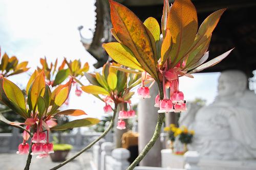 Trong đó, đào chuông là hoa độc và lạ nhất trên Bà Nà với những cánh chúm chím màu hồng tạo hình tựa chiếc chuông nhỏ nhắn. Đây là loài hoa hiếm, chỉ sinh trưởng ở những vùng đất có độ cao từ 1.400 m trở lên.