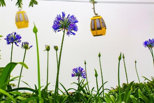 Giờ đây, loài hoa có xuất xứ từ vùng cực Nam châu Mỹ này là một trong ba giống được trồng nhiều nhất ở Bà Nà.