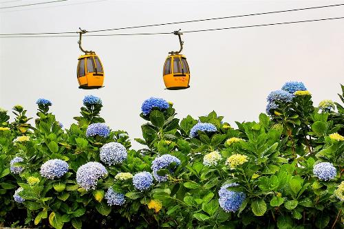 Những bông cẩm tú cầu đa sắc giữa khung cảnh nên thơ với điểm nhấn là cáp treo một dây, tạo nên cảnh quan kỳ vĩ làm say lòng du khách.