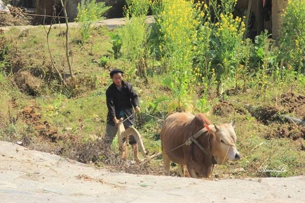 Như bao nơi khác trên cao nguyên cá Đồng Văn, đời sống người dân ở Phố Bảng vẫn còn nhiều khó khăn, từng tấc đất canh tác còn quý hơn cả vàng.