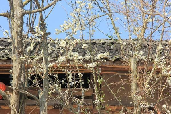 Những bông hoa mận trắng muốt bung nở dưới những mái nhà.