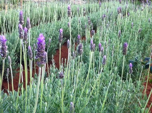 Vườn hoa oải hương hay còn gọi là lavender của gia đình anh Lê Tiến Thành nằm trong làng hoa Vạn Thành, thành phố Đà Lạt, có diện tích trồng ngoài trời lên tới 1.000 m2.