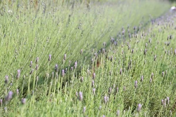 Ngoài trồng trong chậu để bán làm quà, trang trí nhà cửa, hoa oải hương cũng được trồng trên ruộng để bán hoa cắt cành và phục vụ khách tham quan.