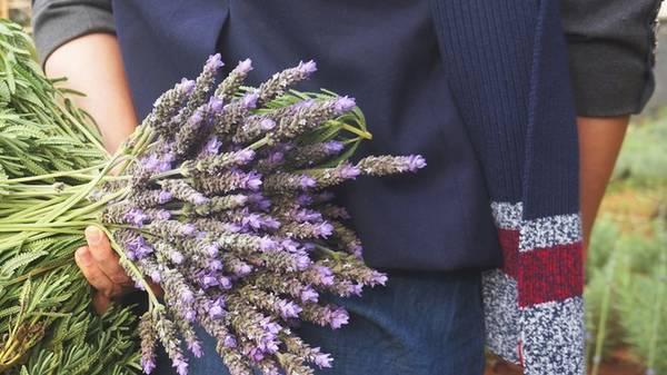 Là dân công nghệ sinh học, có thời gian dài làm việc về lĩnh vực, nông nghiệp, anh Thành cho biết anh thử nghiệm trồng hoa oải hưởng ở Đà Lạt từ năm 2008. Tuy nhiên đến năm 2011, thành công mới bắt đầu mỉm cười với anh khi có thể cung cấp hoa oải hương ra thị trường.