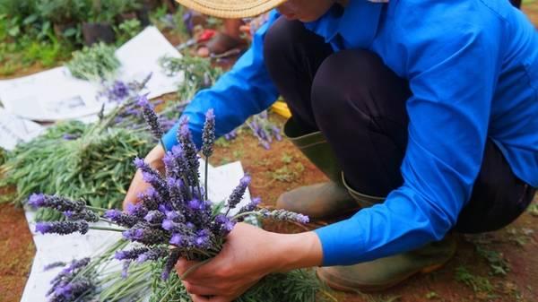 Những dòng oải hương đang trồng tại vườn anh Thành ra hoa quanh năm, do vậy bạn có thể tới bất kỳ mùa nào. Tuy nhiên tháng 7 - 8, Đà Lạt mưa nhiều, hoa trồng ngoài trời nên vườn thường ẩm ướt, dễ bẩn.