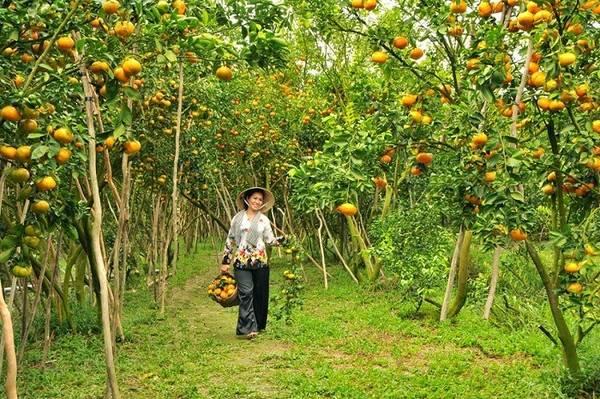 Vườn quýt Lai Vung: Đến xã Long Hậu, Tân Phước, Tân Thành, huyện Lai Vung, bạn sẽ như lạc vào một thiên đường quýt hồng. Từ hơn 100 năm trước, quýt hồng đã được trồng ở xứ này. Nhờ khí hậu, nước, đất phù hợp, quýt hồng nơi đây luôn cho nhiều trái to, tròn, mọng nước hơn quýt những vùng khác. Vào những dịp cuối năm là mùa quýt nở rộ, du khách có thể ghé những nhà vườn tại đây để trải nghiệm cảm giác được làm nông dân thu hoạch quýt.Ảnh: dailytravelvietnam.com
